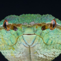 The green head of a temple viper